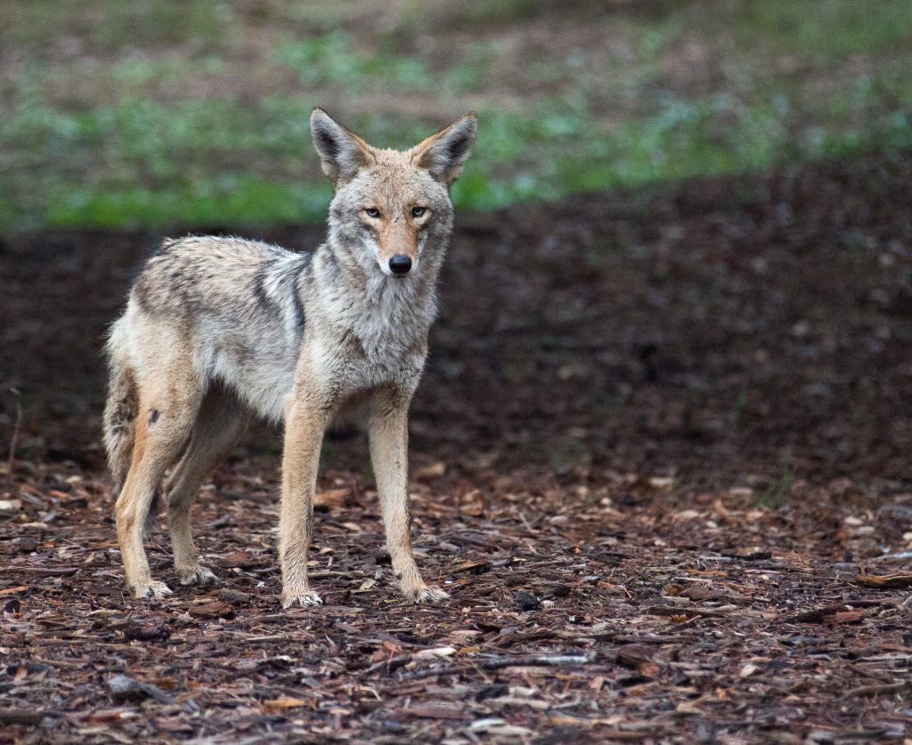 blog about coyotes