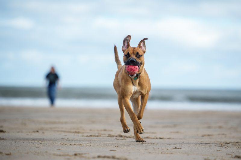 dog in a beach running