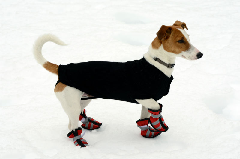 Dog in Snow with Boots
