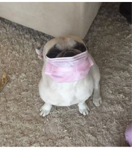 Olive the dog with a face mask on