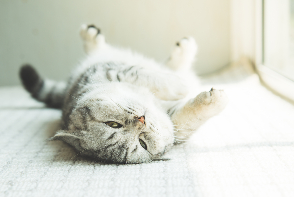 Domestic Shorthair cat