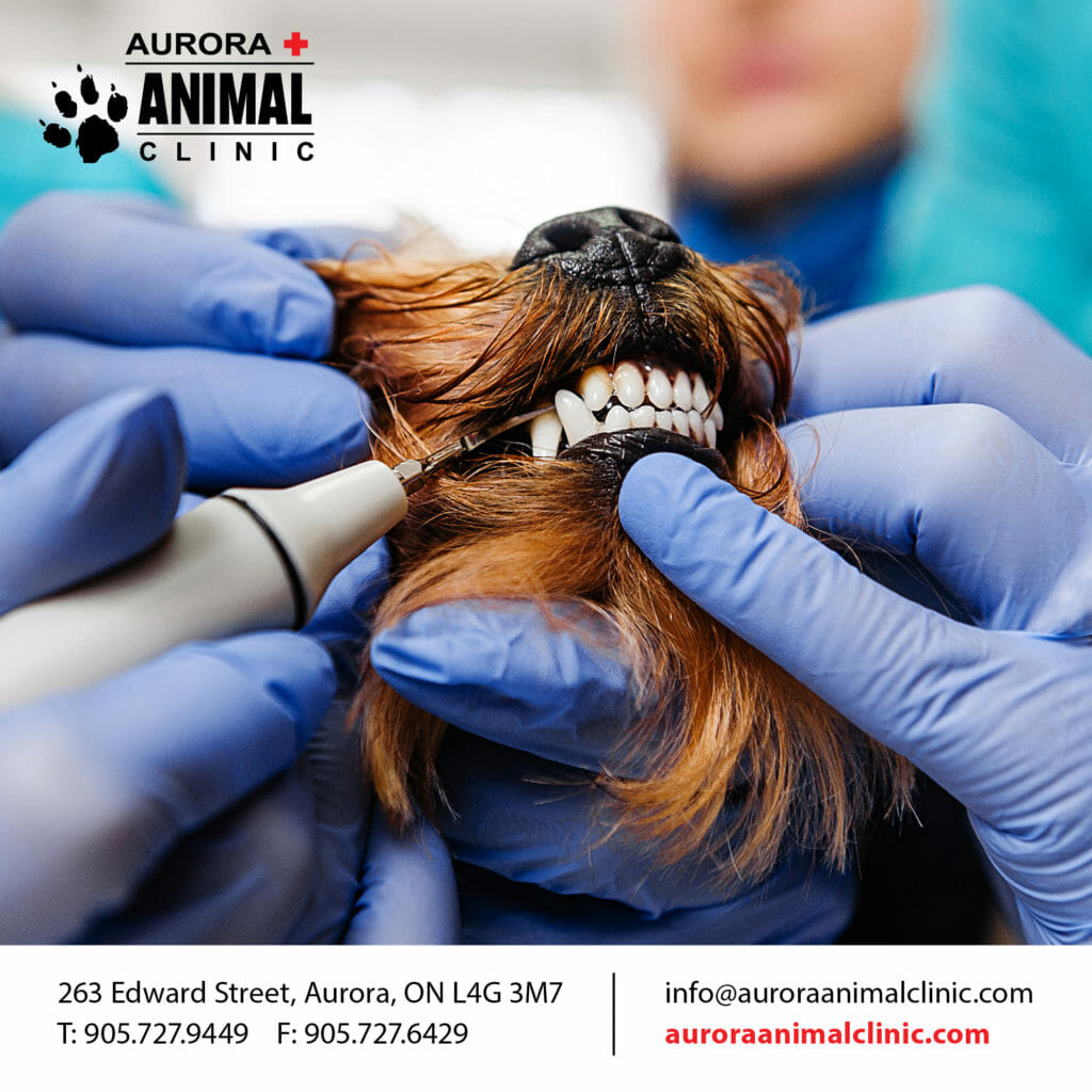 Aurora Animal Clinic logo and veterinarian performing a dental procedure on a dog